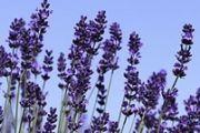 Aromapflege und Aromakultur